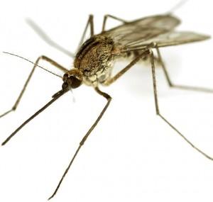 Obshchiy-vid-komara