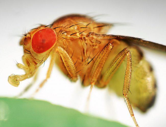 Как выглядит плодовая муха