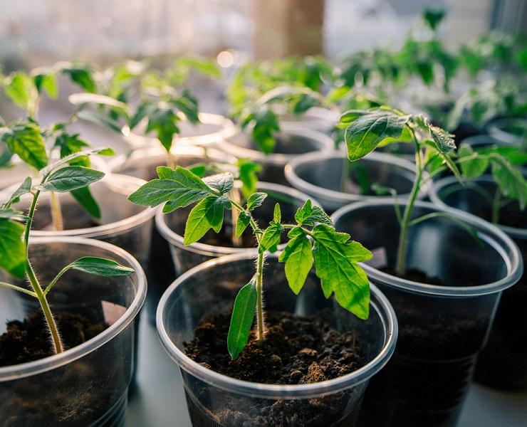 Ботва томатов - средство для отпугивания мелких мух