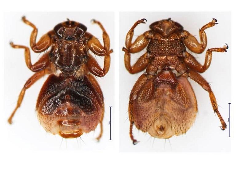 Внешний вид лосиной мухи