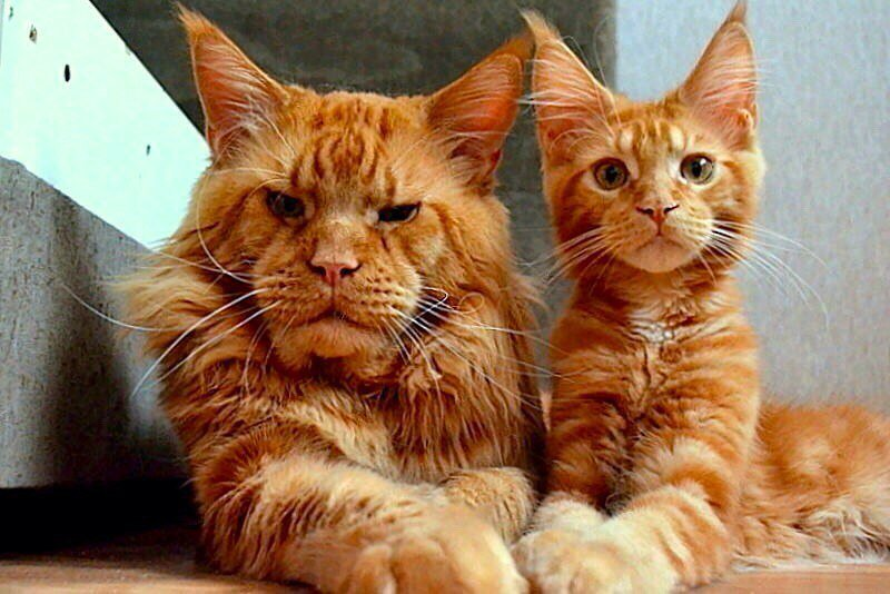 Демодекоз у кошачьих