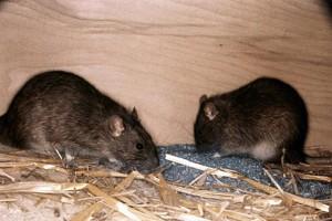 мыши-2