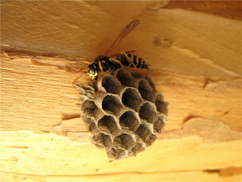 Узнайте, как быстро вывести осиное гнездо