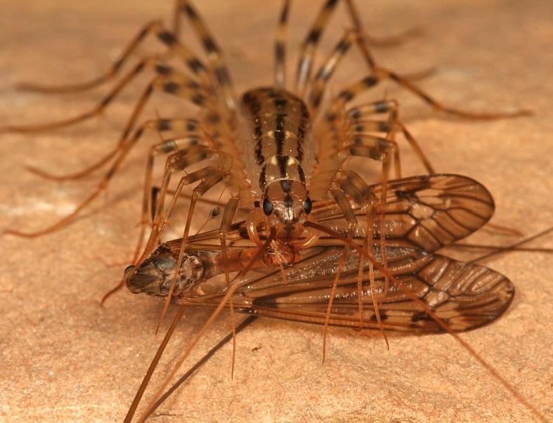 Многоножка ест насекомое