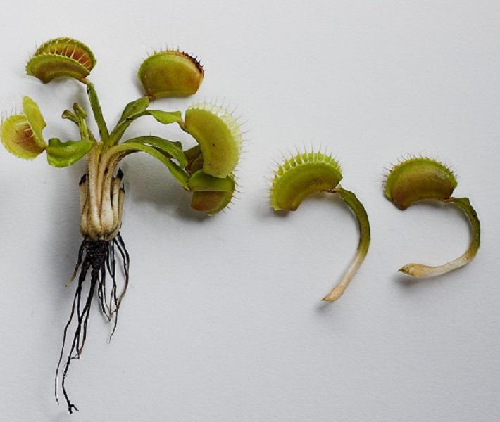 Размножение дионеи черенкованием листа