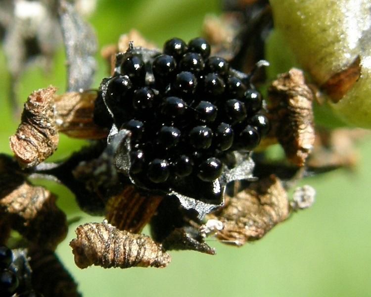 Семена венериной мухоловки