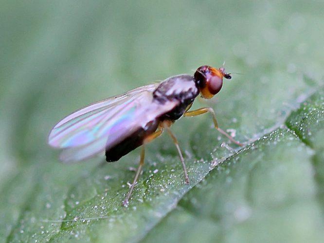 Как выглядит морковная муха