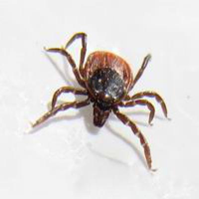 Лосиная, муха, лосиный, вошь, вши, клещ, защита, укус, укусы